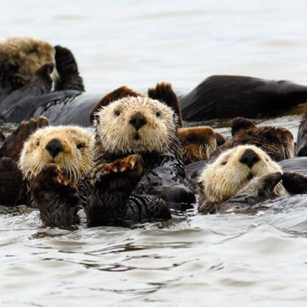 MATTED PRINT RAFT OF OTTERS