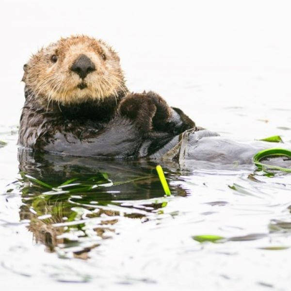 MATTED PRINT OTTER IN KELP